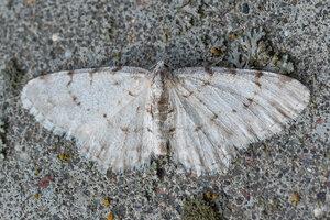 s:бабочки,s:дневные бабочки ,c:светло-серые