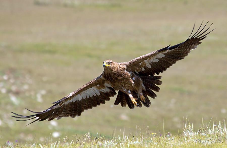 степной орёл1.jpg