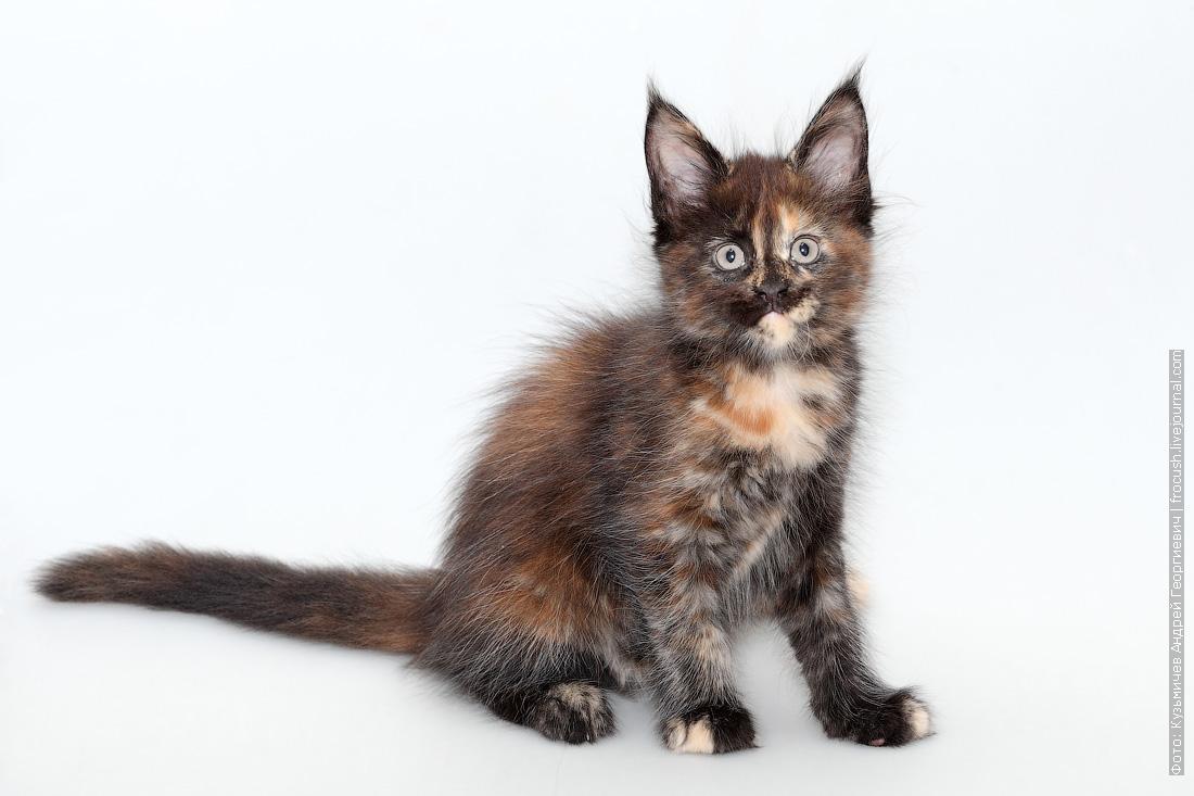 кошка мейн-кун питомник в Москве продажа