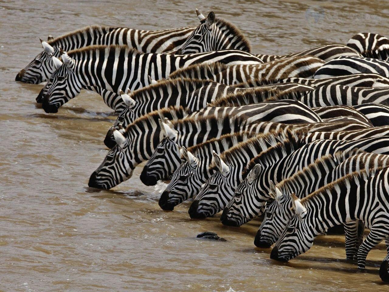 herd-of-burchells-zebra-drinking--mara-river--masai-mara--kenya.jpg