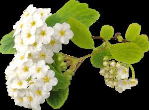цветы плодовых деревьев