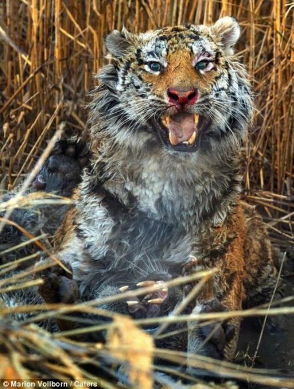 Кровавая схватка двух диких тигров в Претории