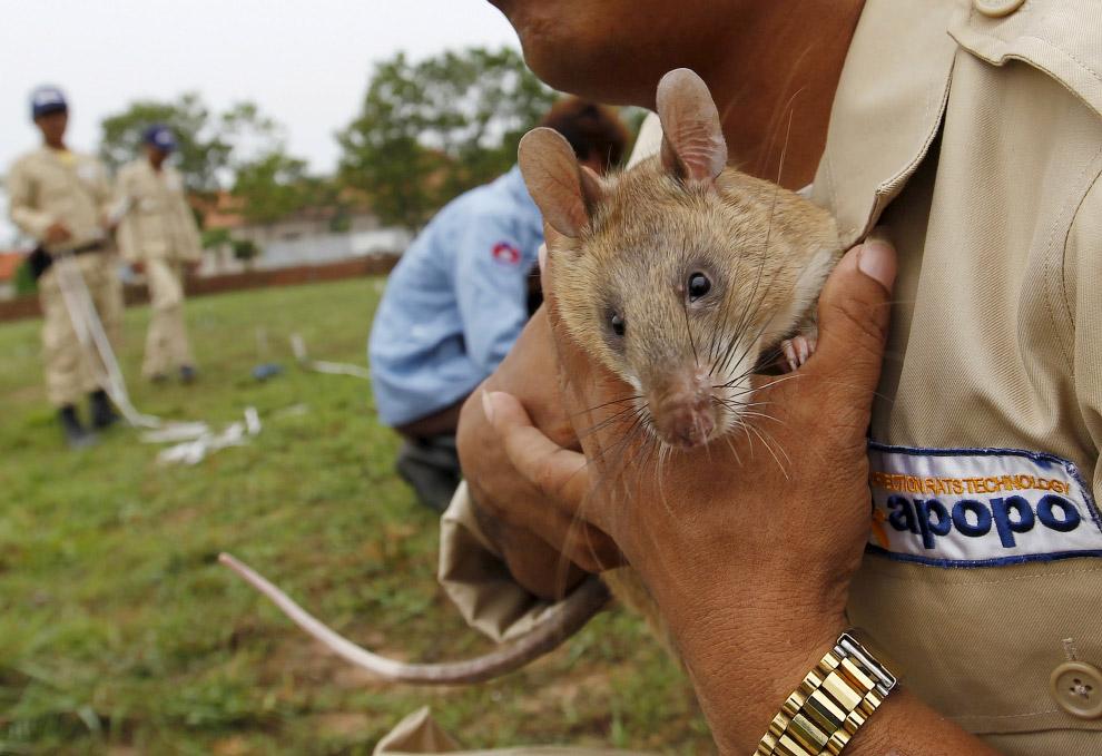 По версии Animal Planet, крысы входят в 10 самых умных животных на Земле. Подробнее об этом мож