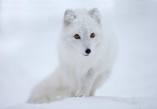 Песец или полярная лиса Только взгляните на этот белоснежный и невероятно мягкий мех. К сожалению, и