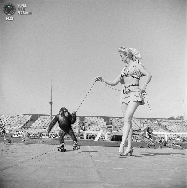 США. Нью-Йорк. 1948 год. Цирковая артистка с шимпанзе на роликовых коньках. (V&M/Look/Stanley Ku
