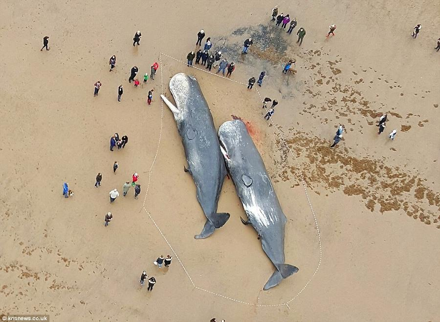 17 мёртвых кашалотов найдены на побережье Северного моря (23 фото)