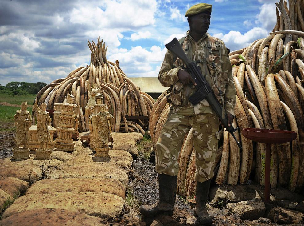 Продажи слоновой кости то запрещали, то разрешали. В 1989 году ООН ввела 9-летний мораторий на торго