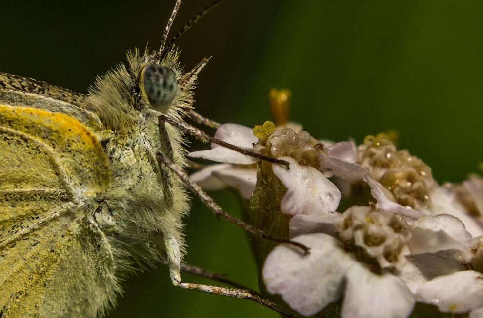 12. Бабочки очень пугливы. Сделать нормальный кадр с расстояния в несколько сантиметров необыча
