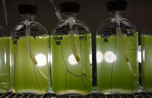 Ученые сообщили овозможности растить бензин надеревьях