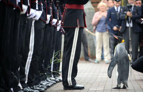 В Шотландии пингвину присвоено звание бригадного генерала