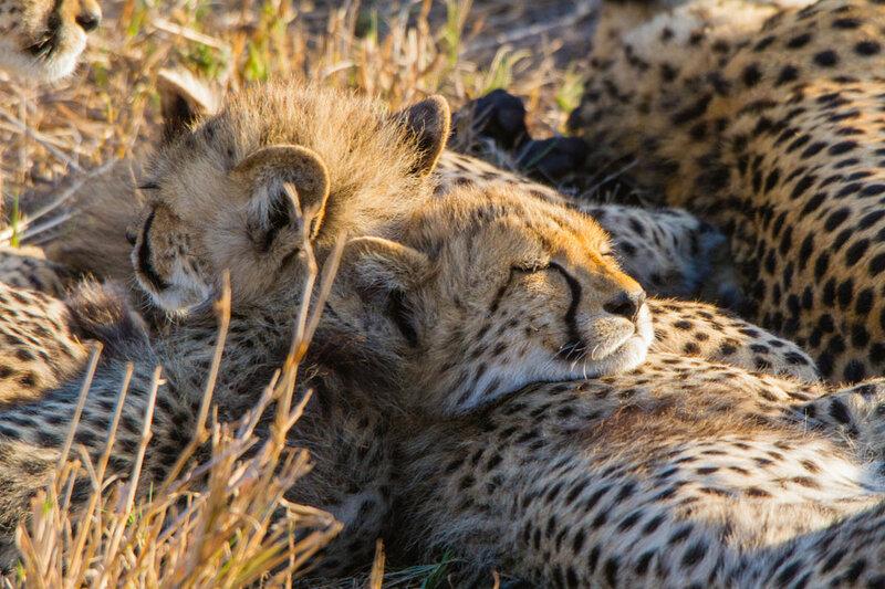Детёныши гепарда отдыхают. Автор фото: Davy Guthmuller