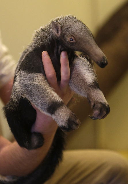 A zookeeper holds a baby giant anteater in its enclosure at Prague Zoo, Czech Republic, March 2, 201