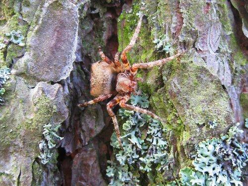 Лесной паук