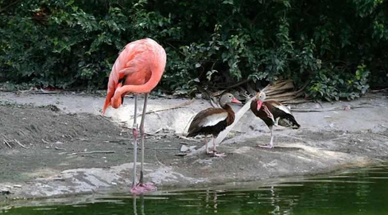 Утки, которые думают, что они фламинго