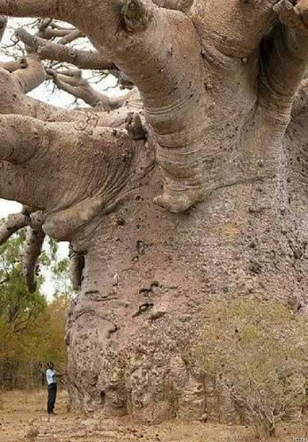 6000 years-old baobab tree in Senegal.jpg
