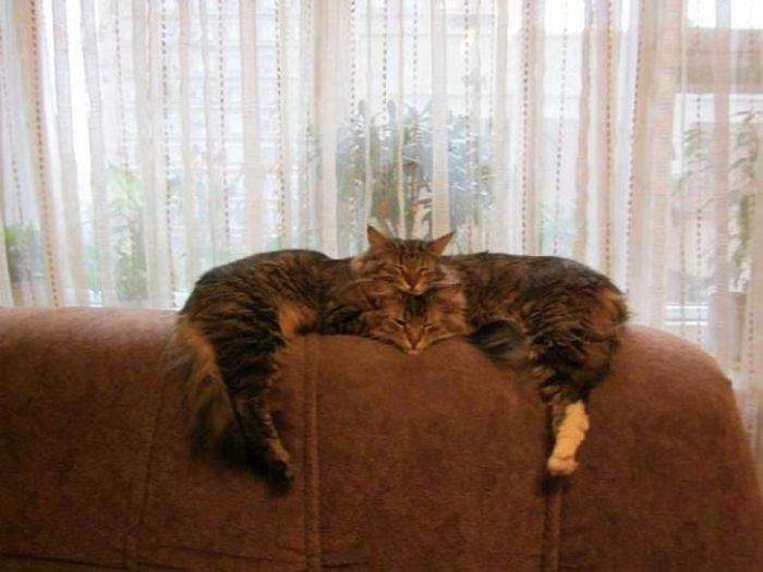 Двуглавый котэ.