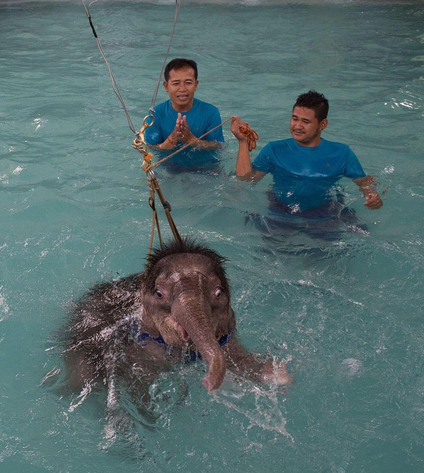 Плавать слоненок пока не научился, и на поверхности его держат тросы.
