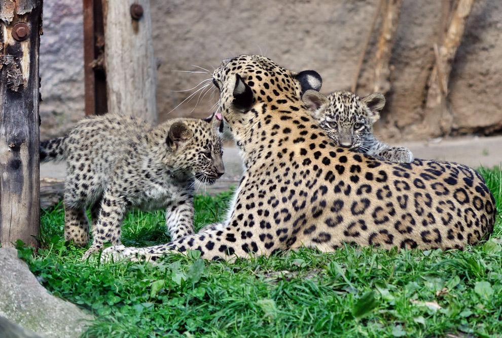 Напомним, сочинский Центр разведения и реабилитации переднеазиатского леопарда был открыт в 200