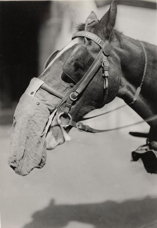 10. Лошадь в байковом респираторе в Лаборатории химико-технологических исследований в Филадельфии, 1