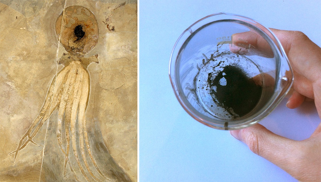 Photo of the fossil on the left by Hans Arne Nakrem, photo of the powder on the right by Esther van