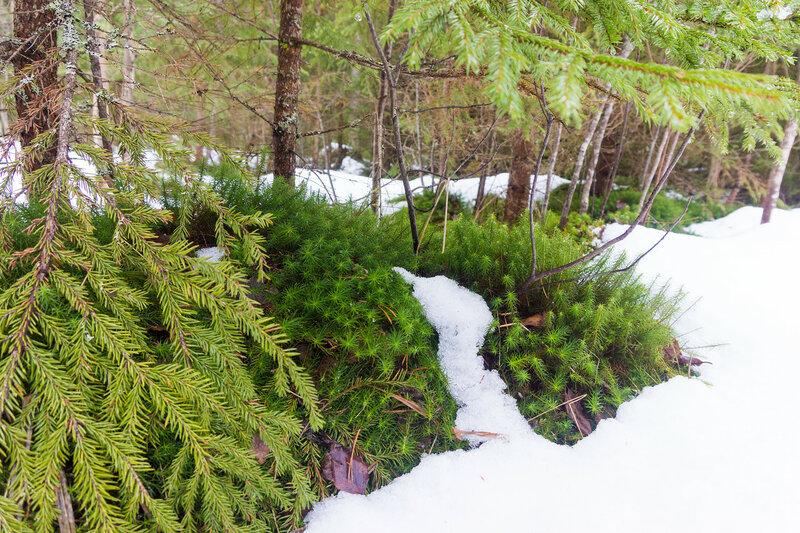 зеленый мох выглянул из-под снега весной в лесу