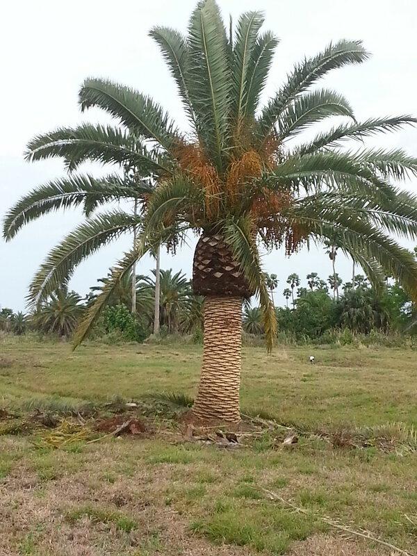 sebastian-canary-date-palm-trees-chalreston-kiawah-sc.jpg