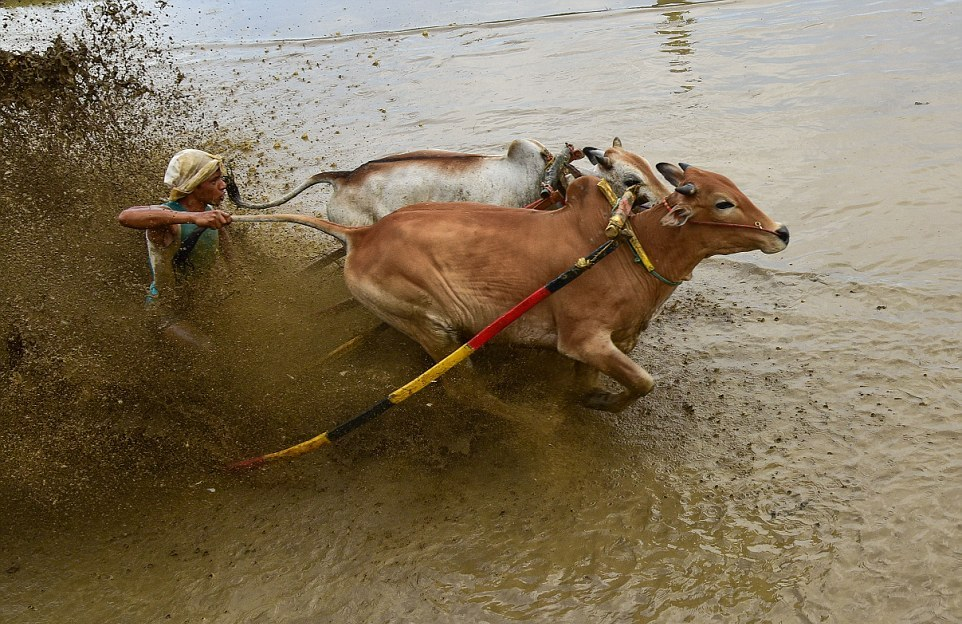 Гонки на быках в Индонезии