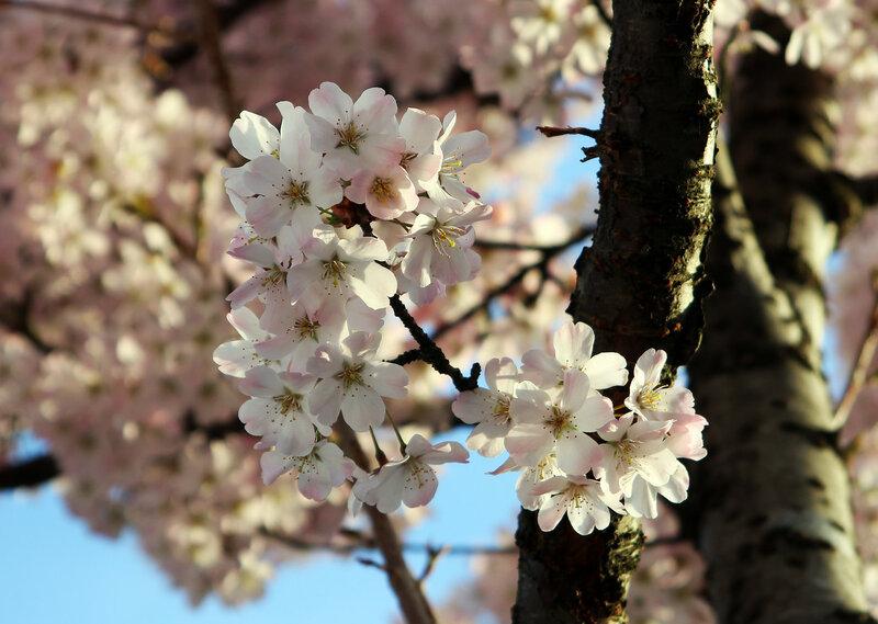 Ханами - любование цветением сакуры