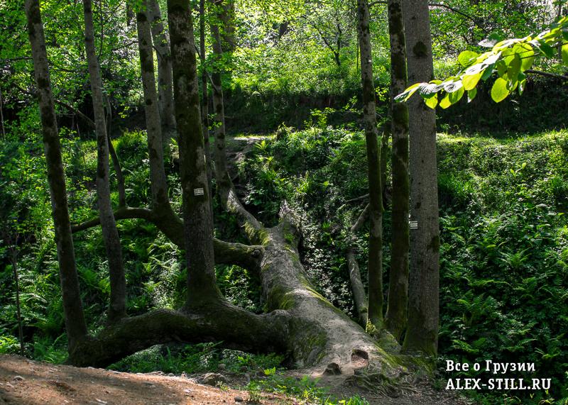 Уникальное дерево в ботаническом саде
