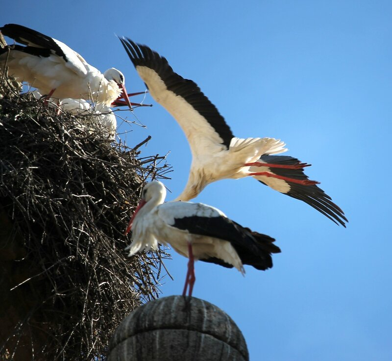 Storks. Marriage games