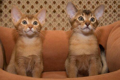Фото Абиссинские котята