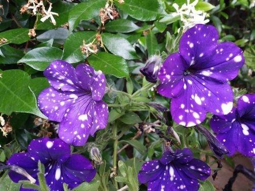 петуния,цветы