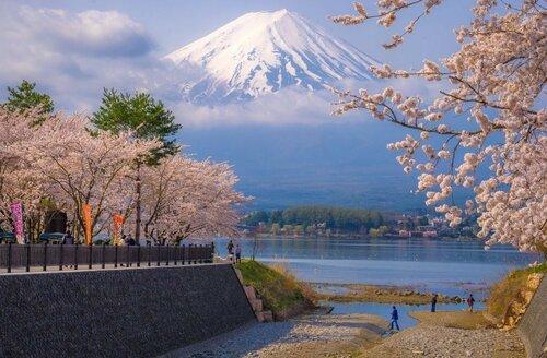 Цветение сакуры, гора Фудзияма