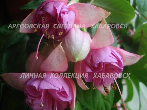 НОВИНКИ ФУКСИЙ. - Страница 5 0_1577b3_b32a0127_L