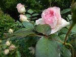 Eden Rose ( штамб)