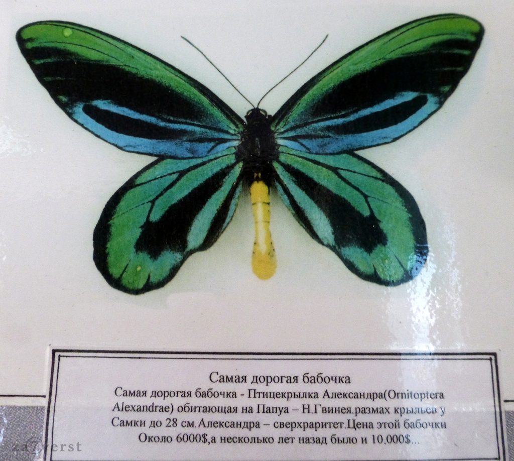 Сафари-парк в Геленджике. Выставка бабочек, самая дорогая бабочка - Птицекрылка Александра