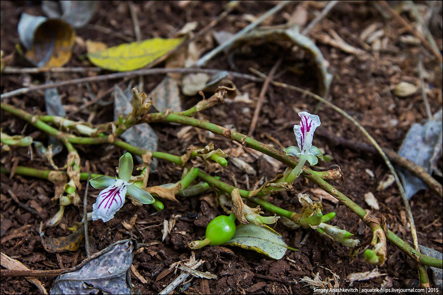 5. Плодоносить кардамон начинает на третий год своей жизни. По земле от корня бегут короткие побеги,