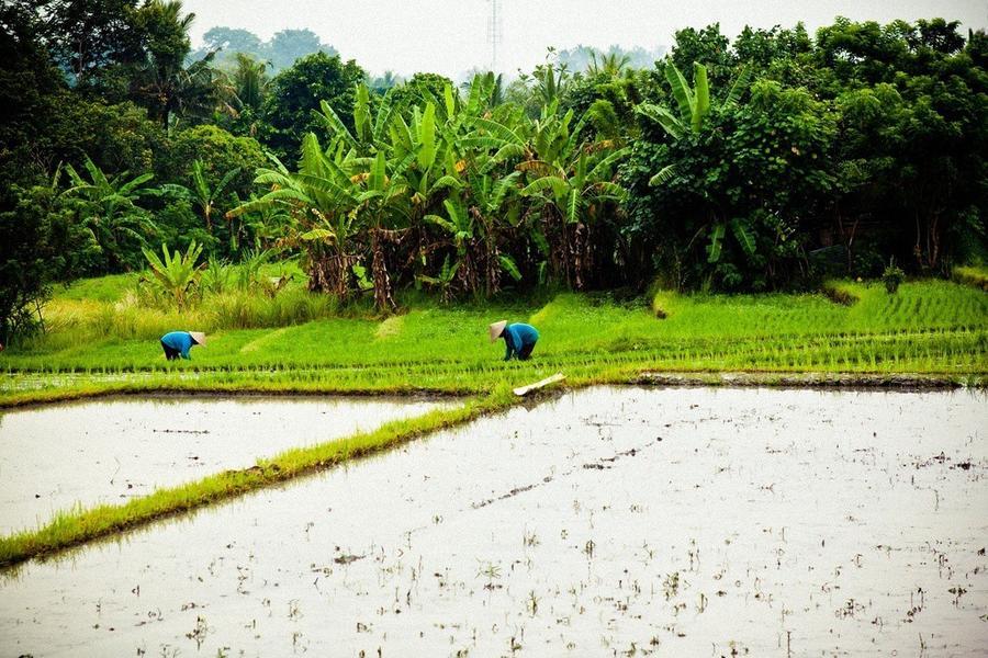 14. За день китайцы собирают около 510 тысяч тонн риса.