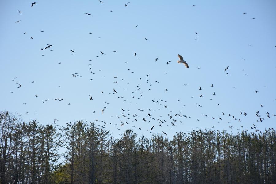 3. Птица чайка — одна из наиболее распространенных пернатых, обитающих у моря. Ареал этой птицы