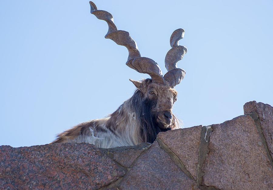 9. Винторогий козел Раньше этот вид очень часто встречался в Западных Гималаях, Кашмире, Малом Тибет