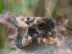 s:бабочки,s:дневные бабочки,c:с черными пятнами
