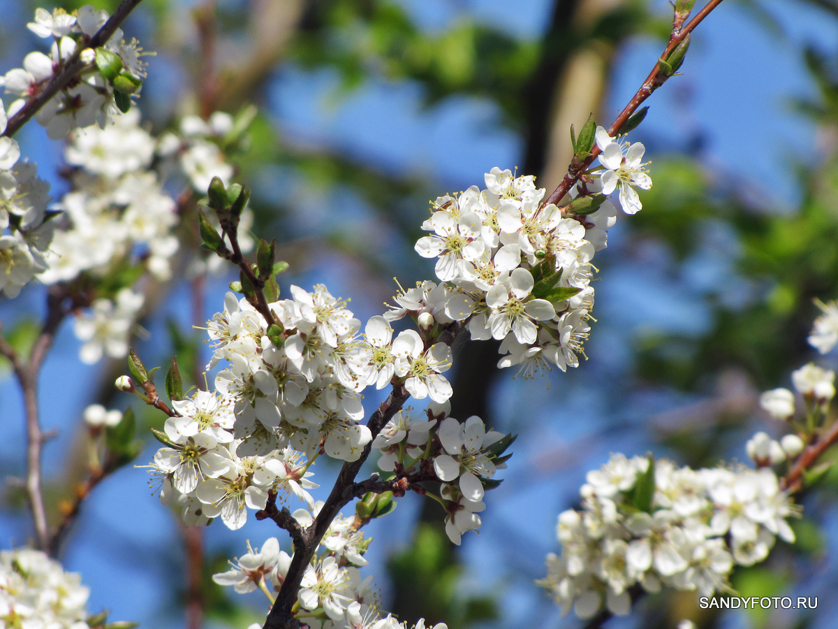 Как цветёт слива?