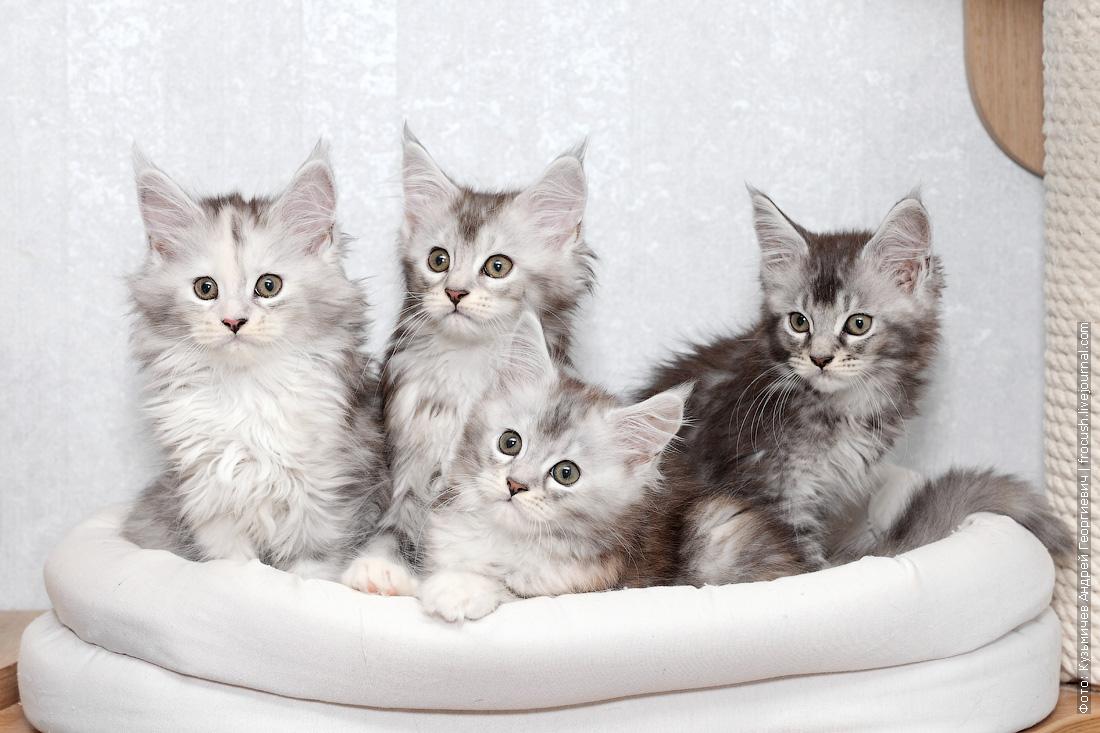 мейн кун котята фотография
