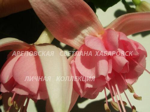 НОВИНКИ ФУКСИЙ. - Страница 5 0_153410_4fe78fe1_L
