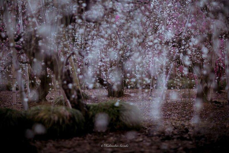 Японская весна Hidenobu Suzuki