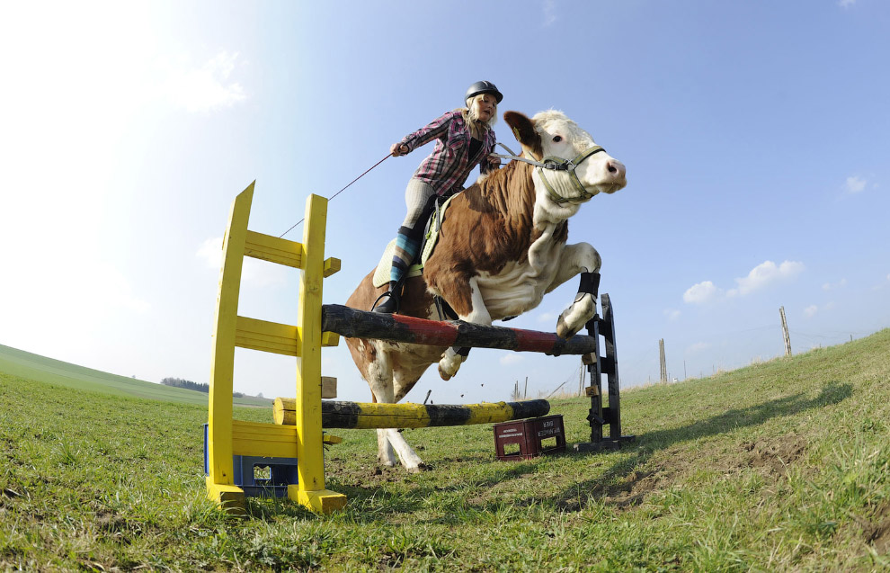 21. Коровы-пожарные. Калифорния, 11 сентября 2015. (Фото Noah Berger | Reuters):