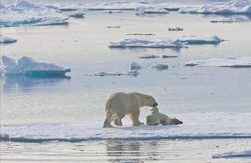 3. Самец перетащил труп на другую льдину, чтобы убедиться, что ему никто не помешает.