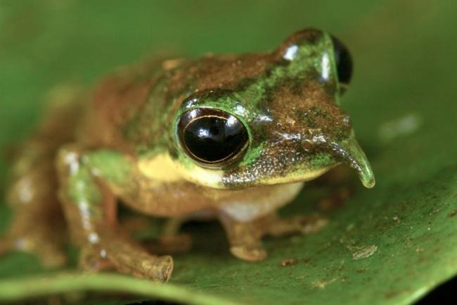 © Tim Laman, National Geographic  Эта лягушка была обнаружена в2008 году вИндонезии, асведе