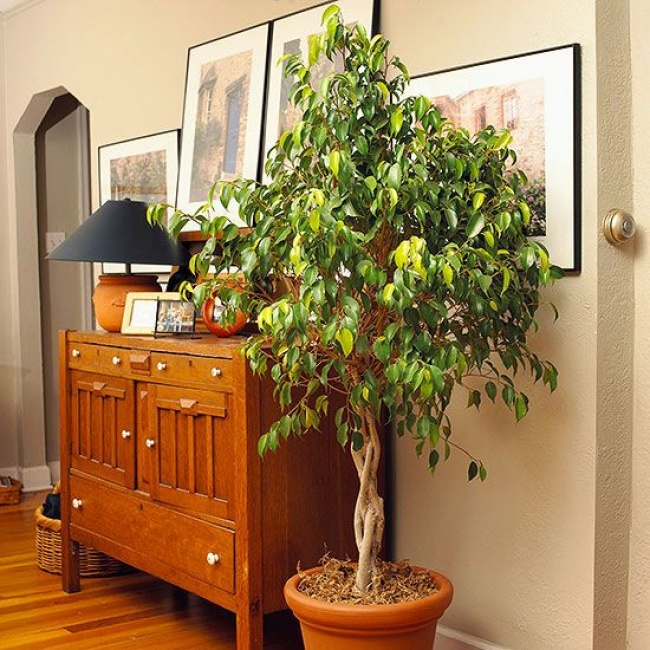 Фикус бенджамина (Ficus benjamina) нейтрализует пары формальдегида, толуола, ксилола иаммиака. Можн