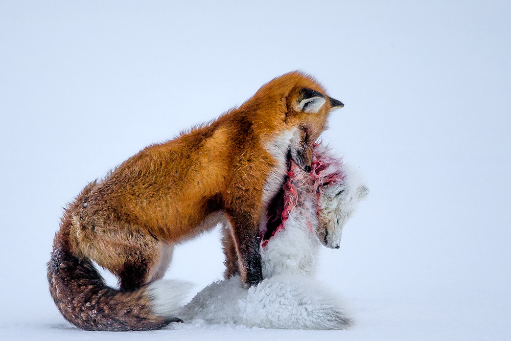 A tale of two foxes , Don Gutoski, Canada. Wildlife Photographer of the Year, WINNER.